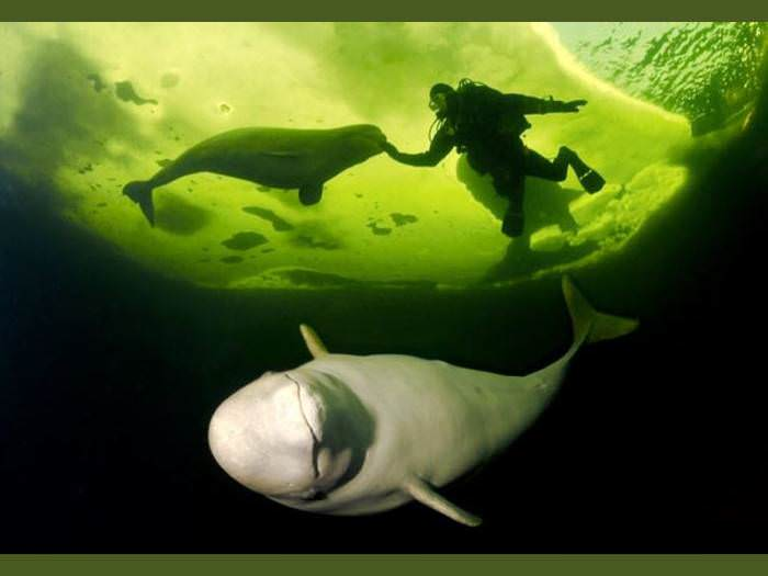 בילוי עם הלבנתן הלבן - תמונות מתחת למי הקרח